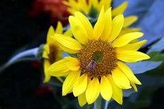 Sunflower and a bumble bee royalty free stock images