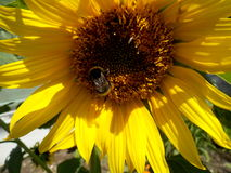 Sunflower with bumble-bee. Photo of sunflower with bumble-bee in sunny day Royalty Free Stock Photos