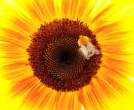 Sunflower. Bumble bee pollinates a sunflower Royalty Free Stock Images