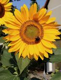 Sunflower with a bumble bee on top of it royalty free stock photo