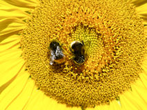 Sunflower with bumble bees Royalty Free Stock Photography