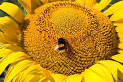 Sunflower and bumblebee Royalty Free Stock Images