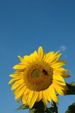 Sunflower with bumblebee. Yellow sunflower with bumblebee against blue sky stock photo