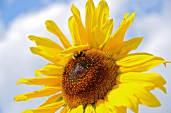Sunflower with bumblebee Royalty Free Stock Photo
