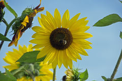 Sunflower with bumblebee Royalty Free Stock Photos