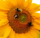 Sunflower and Bumblebee Stock Images