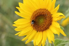 Sunflower and Bumblebee Stock Image