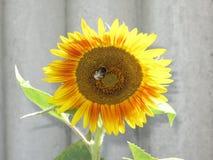 Sunflower and bumblebee Stock Photos