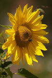 Sunflower with bumblebee. Stock Photos