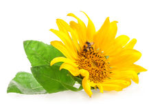 Sunflower with bumblebee Stock Photos