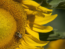Sunflower with Bumblebee. A large yellow Sunflower with Bumblebee on a farm in Bergen County, New Jersey Royalty Free Stock Photos