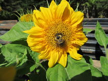Sunflower Bumblebee Royalty Free Stock Images
