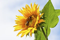 Sunflower with bumblebees, close up Royalty Free Stock Images