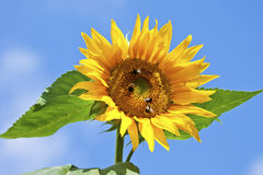 Sunflower with bumblebees, close up Stock Photo