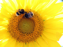 Summer background - sunflower with bumblebees. Summer background - two bumblebees touch each other while collecting pollen from a sunflower on a sunny summer day stock image