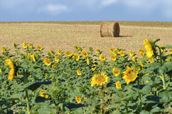 Sunflower and bundle of straw Royalty Free Stock Images