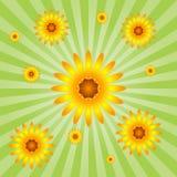 Sunflower Burst Stock Photo