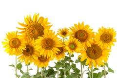 Sunflower bushes royalty free stock photography