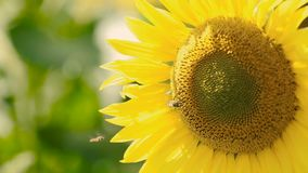 Sunflower With Busy Bee. Yellow sunflower field with a bee that pollinates the flower stock video