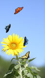 Sunflower with Butterflies Royalty Free Stock Image