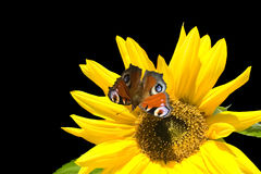 Sunflower butterfly Stock Image