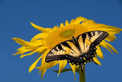 Sunflower with a butterfly Stock Image