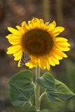 Sunflower and butterfly stock photos
