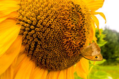Sunflower and Butterfly Royalty Free Stock Image