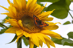 Sunflower with butterfly called Small Tortoiseshell Stock Photography