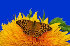Sunflower and butterfly - closeup. Teddy bear sunflower with Silver-washed Fritillary butterfly - Argynnis paphia stock photos