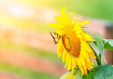 Sunflower and butterfly Stock Photography