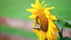 Sunflower and butterfly stock video footage