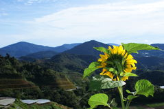 Sunflower in the Cameron highlands Stock Images