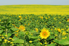 Sunflower and canola field stock image