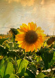 Sunflower on canvas Stock Photo