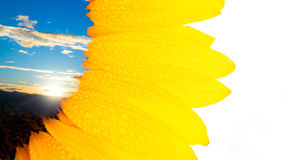 Sunflower card 2 Royalty Free Stock Photo
