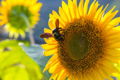 Sunflower with carpenter bee Stock Photos