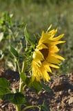 Sunflower Castilla La Mancha. Sunflower field lateral seen Royalty Free Stock Photos