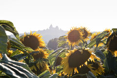Sunflower with castle on background Royalty Free Stock Photos