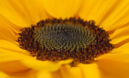 Sunflower center macro backgound Royalty Free Stock Photography