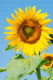 Sunflower  with a central heart-shaped Royalty Free Stock Photo