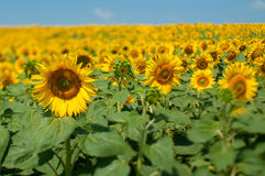 Sunflower  with a central heart-shaped Royalty Free Stock Photography