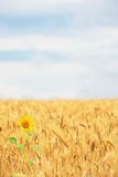 Sunflower in cereal field Stock Photography