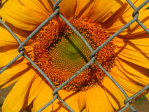 Sunflower through chain fence. Sunflower bloom through chain link fence on sunny day Royalty Free Stock Photos