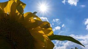 Yellow Sunflower stock image
