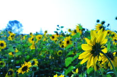 Sunflower. 2014.7.19 on china sunflower Stock Photography