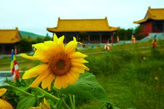 Sunflower before chinese temple Stock Images