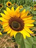 Sunflower Circle stock image