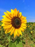 Sunflower Circle stock photos
