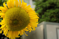 Sunflower in the city. A big sunflower in the city in front of office cabin royalty free stock photography